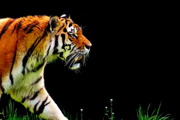 New Netflix hit features tigers in a different, dramatic light.